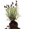Essential Oil Of Spanish Lavender by Wolfgang Steiner
