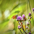 Essex Skipper On Thistle #h77 by Leif Sohlman