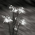 Ethereal Columbine Monochrome by Wayne King