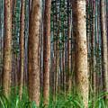 Eucalyptus Forest by Christopher Johnson