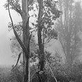 Eucalyptus In Morning Fog by Alexander Kunz