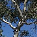Eucalyptus by Kathy McClure