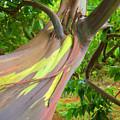 Eucalyptus Tree by Ron Dahlquist - Printscapes