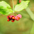 Euonymus Americanus  American Strawberry Bush by Rebecca Sherman