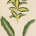 Euonymus Japonica Aurea Variegata, Maranta Micans by English School