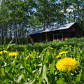 Euphemia Mcnaught Homestead Chicken Coop And Dandelions by Angela Patterson