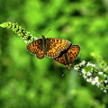 Euphydryas Aurinia  by Michelle Meenawong