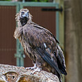 Eurasian Black Vulture 1 by Susan McMenamin