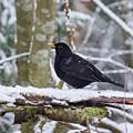 Eurasian Blackbird In The Snow by Jouko Lehto