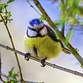 Eurasian Blue Tit, Cyanistes Caeruleus by Elenarts - Elena Duvernay photo