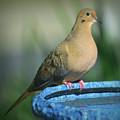 Mourning Dove On Birdbath by Josephine Buschman