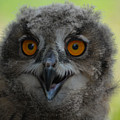 Eurasian Eagle Owl Chick by Erin O'Neal-Morie