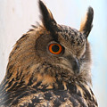 Eurasian Eagle-owl by Ed  Riche