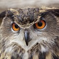 Eurasian Eagle Owl by Lyn Steuart