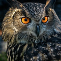 Eurasian Eagle Owl by Travis Boyd