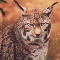 Eurasian Lynx by Andreas Berheide