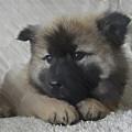 Eurasian Puppy - Dwp2891030 by Dean Wittle