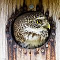 Eurasian Pygmy Owl In Profile by Torbjorn Swenelius