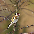 European Goldfinch 2 by Jouko Lehto