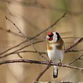 European Goldfinch 3 by Jouko Lehto