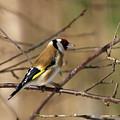 European Goldfinch 5 by Jouko Lehto