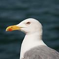 European Herring Gull Portrait by Bob Phillips