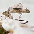 European Herring Gulls In A Row, A Landing Bird Above Them by Nick Biemans