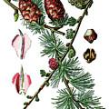 European Larch, Pinus Larix by Bildagentur-online