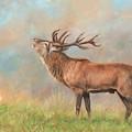European Red Deer by David Stribbling