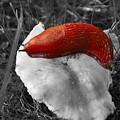 European Red Slug - Arion Rufus by Noah Cole