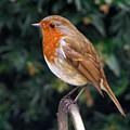 European Robin Erithacus Rubecula by Martyn Arnold