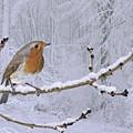European Robin On Snowy Branch by Warren Photographic