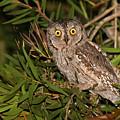 European Scops Owl  by Alon Meir
