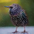 European Starling - Painted by Ericamaxine Price