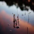 European Toad Evening Swim by Jouko Lehto