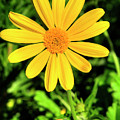 Euryops Flower by FineArtRoyal Joshua Mimbs