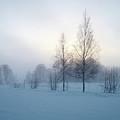 Evening Birches by Jouko Lehto