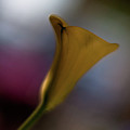 Evening Calla by Mike Reid