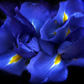 Evening Iris by Jessica Jenney