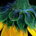 Evening Sunflower by Jessica Jenney