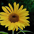 Evening Sunflower by William Jobes