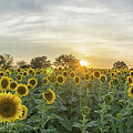 Evening Sunflowers by Randy Blaustein
