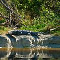 Everglades Crocodile by David Lee Thompson