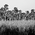 Everglades Grasses And Palm Trees 2 by Bob Phillips
