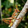 Everglades Grasshopper by Joseph G Holland
