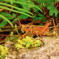 Everglades Locust by Dale Chapel