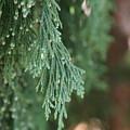 Evergreen by Linda Shafer