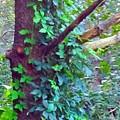 Evergreen Tree With Green Vine by Debra Lynch