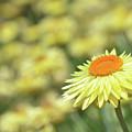 Everlasting Daisy by Karen Black