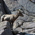 Ewe Bighorn Sheep by Colleen Cornelius